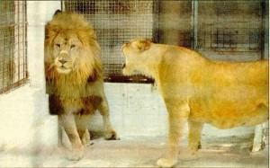 176_lionstalking